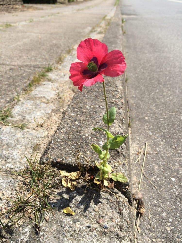 Pavement Poppy