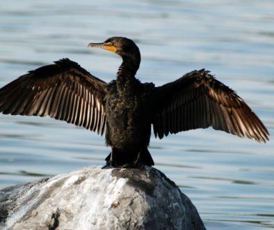 cormorant-1800387_1920